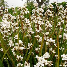Libertia Plant - Libertia is a genus of monocotyledonous plants in the family Iridaceous, first described as a genus in 1824. It is Native to South America, Australia, New Guinea, and New Zealand. Several of species are endemic to New Zealand.