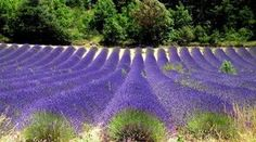 campo de lavanda na Provence