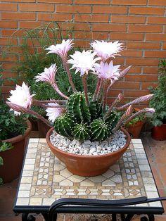 Echinopsis Eyriesiig Cactus -
