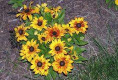 Rudbeckia Hirta Seeds - BECKY MIX - Gloriosa Daisy - Perennial - 50 Seeds #theseedhouse