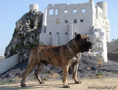 This is the Polish world champion Presa Canario Padero. Guanchos Kennel is located in country of Poland.