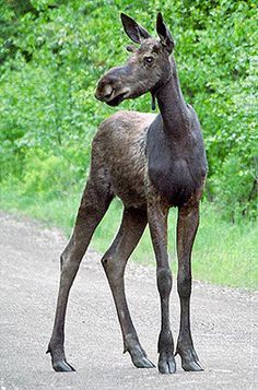 young moose......So I'm a little gangly right now, I'll fill out!