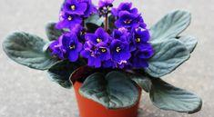 Indoor Plants, Succulents, Garden, Violets, Illustrations, Pictures, Inside Plants, Garten, Lawn And Garden