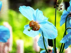 Blue Poppy by Zinvolle - Himalayan blue poppy is blooming at Botanical Garden, Newfoundland. Blue Poppy, Newfoundland, Himalayan, Botanical Gardens, Poppies, Bloom, Wall Art, Plants, Himalayan Cat
