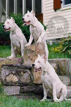 Dogo Argentino - Argentine Dogo : The Original US Breeder Upholding the Standard! : Las Pampas Kennels : Los Andes Kennels : Puppies for Sale - Lab Puppies, Puppies For Sale, Big Dogs, Cute Dogs, Dogo Argentino Dog, Dog Pounds, Boxer, Beautiful Dogs, Animals And Pets