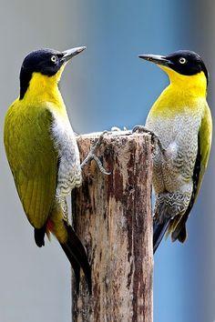* Pica-Pau-Cabeça_Preta * (Picus erythropygius). Black headed woodpecker