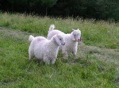 fluffy white goats