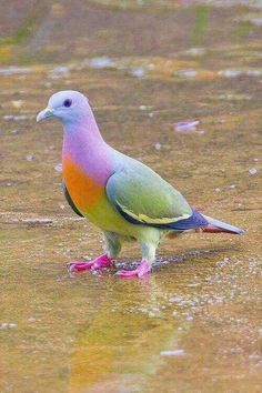 Rare Pink-Necked Green Pigeon, also known as fruit dove! Pretty Birds, Beautiful Butterflies, Love Birds, Beautiful Birds, Animals Beautiful, Exotic Birds, Colorful Birds, Pink Necked Green Pigeon, Cute Pigeon