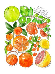 Marcella Kriebel Citrus Family Illustrated Watercolor Poster