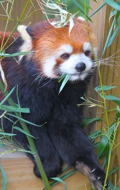 Bamboo is Red Pandas' favorite food - however it will also eat a variety of other foods such as fruits, nuts, eggs, flowers, and seeds.
