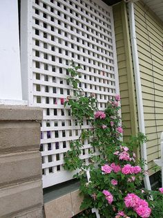 Climbing roses on this lattice, at end of porch behind swing
