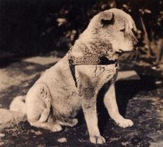 hachiko: 24 thousand results found on Yandex. Japanese Akita, Japanese Dogs, Hachiko Dog, Pet Puppy, Dog Cat, Japanese Dog Breeds, Pet Loss Grief, A Dog's Tale, Dog Heaven