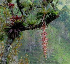 Houseplants That Filter the Air We Breathe Bromelias Epifitas Tropical Garden, Tropical Plants, Garden Trees, Garden Plants, Epiphyte, Paludarium, Vivarium, Rare Orchids, Exotic Plants