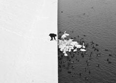 A Man Feeding Swans in the #Snow in Krakow, Poland By Marcin Ryczek #blackandwhite