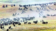 South Dakota's Buffalo Roundup Is Pure Americana Spectacle Zoo Online, South Dakota State, Native American Tribes, Native Americans, Famous Wines, Custer State Park, Gulliver's Travels, New England Fall, The Weather Channel