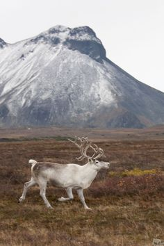 North deer in the outskirts of the Esso settlement, Kamchatka