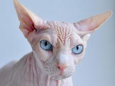 Y este gato esfinge al que probablemente no quisieras acariciar