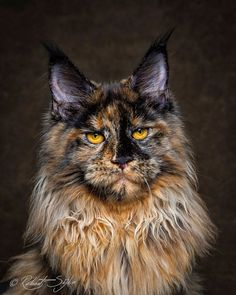 Mythical Beasts: Photographer Captures The Majestic Beauty Of Maine Coons http://www.mainecoonguide.com/maine-coon-personality-traits/ #beautifulcat
