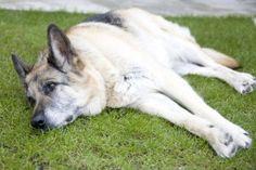 koiran-epilepsia2-300x200