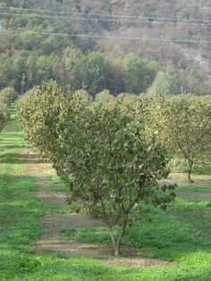 Nocciolo Hazelnut Trees