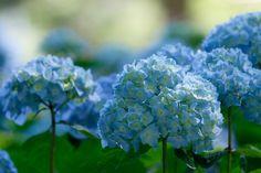 Flowers of indigo blue