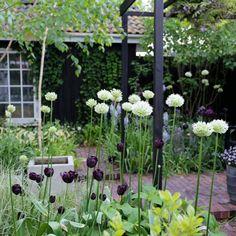 Sorte tulipaner og hvide løgkugler