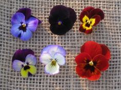 Pansies and violas- hardy or semi-hardy reseed themselves. Colors from white to black and everything in between. November Wedding Flowers, Full Sun Annuals, Underboob Tattoo, Veg Garden, Edible Flowers, Dream Garden, Fresh Herbs, Pansies, Small Space