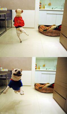 SUPER French Bulldog