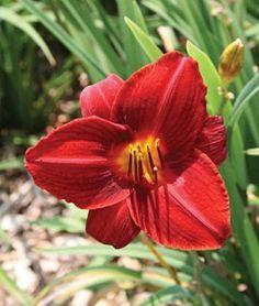Frankly Scarlet Daylily