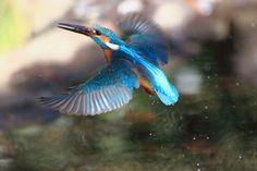 至近距離のカワセミ飛びモノ  : Granpa ToshiのEOS的写真生活