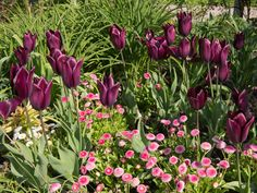 Spring herbaceous border with tulips and daisies Landscaping Plants, Garden Plants, Layout Design, Video Rosa, Herbaceous Border, Garden Borders, Flower Borders, Garden Party Decorations, Easy Garden