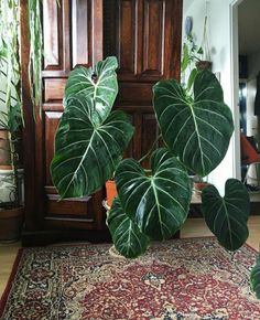 Cto plantsgalleria. Philodendron gloriosum, is a creeper evergreen plant native to Colombia and other tropical parts of the world. This wonderful species sports velvety, green, heart-shaped leaves with cream coloured contrasting vines. The leaves reach up to 90 cm in the wild while the stem remains Underground. Furthermore, a mature Gloriosum produces white flowers around every May to July. Warning! This plant is toxic to humans and animals if ingested. So pay attention!