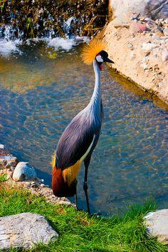 Grey Crowned-Crane (Balearica regulorum)    Toledo Zoo, Toledo Oh.  Photograph by Joe Kastura © 2010