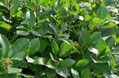 Rydlinge Plantskola » Aronia prunifolia ( tidigare A. melanocarpa ´Elata´)