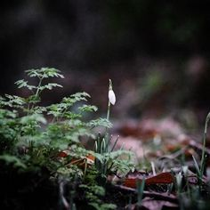 Ferny cow parsley foliage and a patch of snowdrops rising out of the leaf litter (which is prodigious this garden backs onto the village's little wood). One of the many things I love about Friday afternoon's garden is that even in the bits where no one really goes there's always something rather wonderful going on. . #mystoryoflight #peninpractice #olympusuk #tostandandstare #winter #hellojanuary #ihavethisthingfordarkness #fb