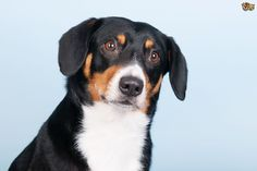 > Year registered: Weight: poundsOriginating in Switzerland, the Entlebucher was used to. Entlebucher Mountain Dog, Laughing Dog, Swiss Mountain Dogs, Purebred Dogs, Different Dogs, Dog Portraits, Livestock, Dog Breeds, Cute Animals
