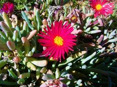 Succulents in the springtime flowers in Calvinia, Northern Cape, South Africa