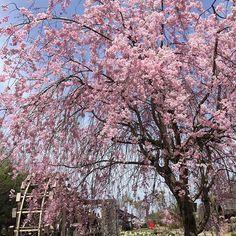 【naom1chan】さんのInstagramをピンしています。 《2017. 2. 4 おはようございます😊 ・ 今日は朝から青空が広がってます☀️ 暦の上では春と言いますが まだまだ寒いよね〜(⑅˃◡˂⑅) ・ 春が待ち遠しくて桜picで…🌸🌸🌸 ・ ・ 皆さん楽しい週末を…♡ ・ ・ #桜#スイセン#水車#青空 #写真好きな人と繋がり #wp_マップ花まつり #はなまっぷ #9vaga9 #9vaga_flowersart9 #loves_flowers_ #myheartinshots #wp_flower #kings_flora #loves_nippon》