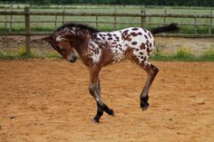 Bay Appaloosa Horse Foal Colt Filly Yearling Stallion Gelding Mare