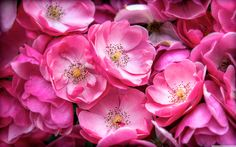 beautiful_wild_roses