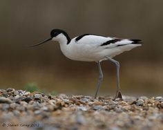 Avocet (Recurvirostra avosetta) by British Birds 2009, via Flickr