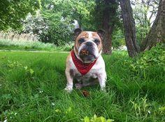 ♥ Baggy Bulldogs ♥ http://baggybulldogs.wordpress.com/2014/06/17/rest-in-peace-my-love/