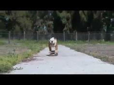 Surfin´ Bulldog (Beach Boys - Surfin´ USA) u wont believe how good this bulldog can surf. Its unreal. Absolutely stole my heart