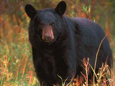 black bears often visit neighborhoods.  Advice--wear bells pinned to your coat when walking or hiking in the woods.