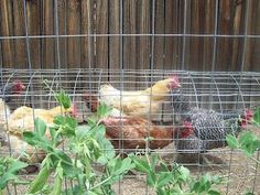 The Chunnel - a chicken tunnel.  Gives backyard chickens room to roam a bit, and keeps the strip between the fence line and raised beds free of weeds.