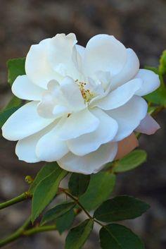White roses are blooming in the Center for Desert Living Trail.