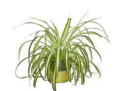 The spider plant is a great indoor plant for removing carbon monoxide and other impurities