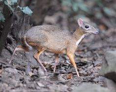 greater mouse-deer, greater Malay chevrotain or napu (Tragulus napu)