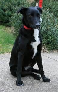 Kelpie Border Collie Cross Bing Images Collie Breeds I Love Dogs Cute Dogs