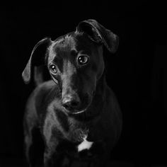 Photographer Takes Beautiful Pictures of Black Dogs and Cats to Prove They Shouldn't Be Last On The List For Adoption Lap Dogs, Dogs And Puppies, Shelter Dogs, Animal Shelter, Pug Rescue, Adoption, Types Of Dogs, Shooting Photo, Portraits